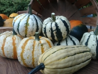 Squash for the Fall and Winter