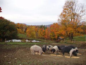Pigs at Lewis Waite Farm