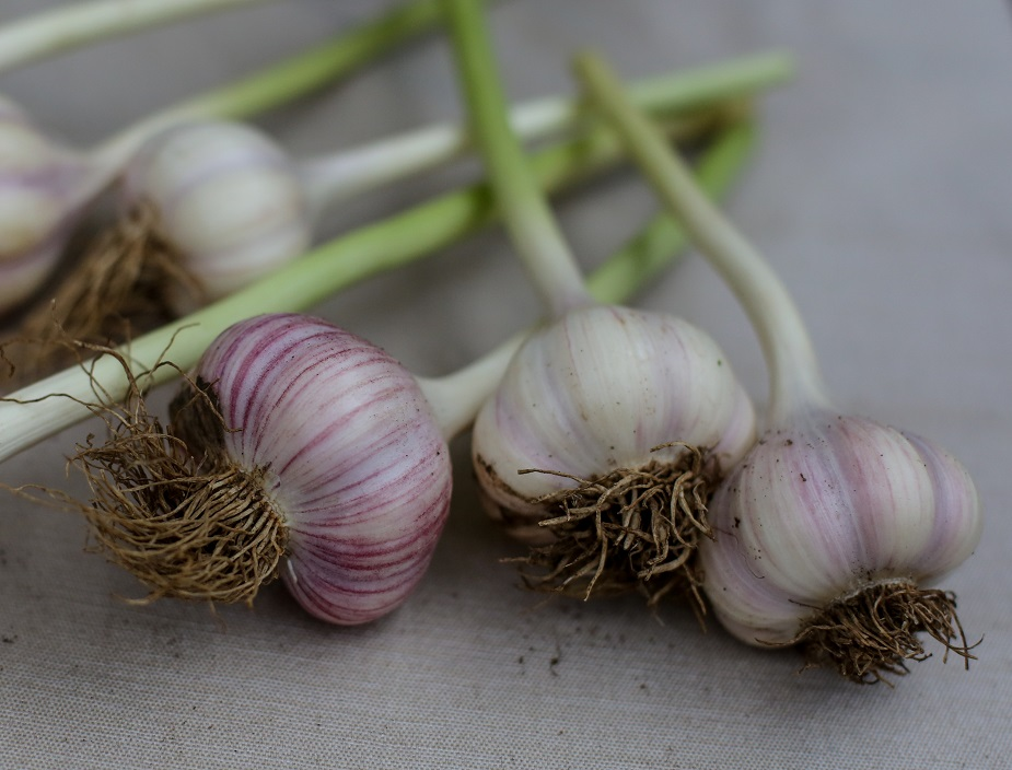 Garlic and the Love of Farming
