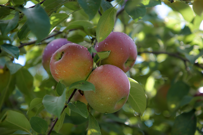 Apples Evoke a Taste of the Change of Seasons