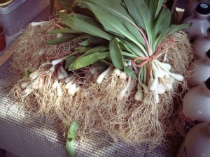 Ramps from Sheldon Farms