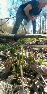 David from Malta Ridge Orchard and Gardens foraging fiddleheads.