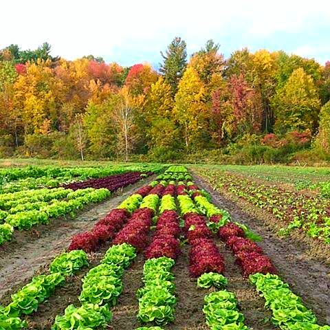 Fall Crops at Denison Farm