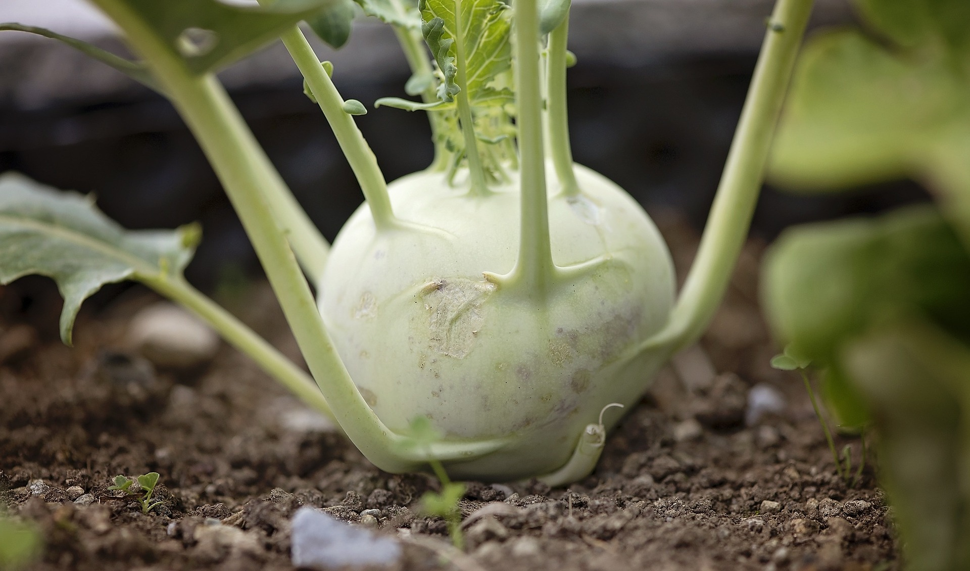 Kohlrabi growing