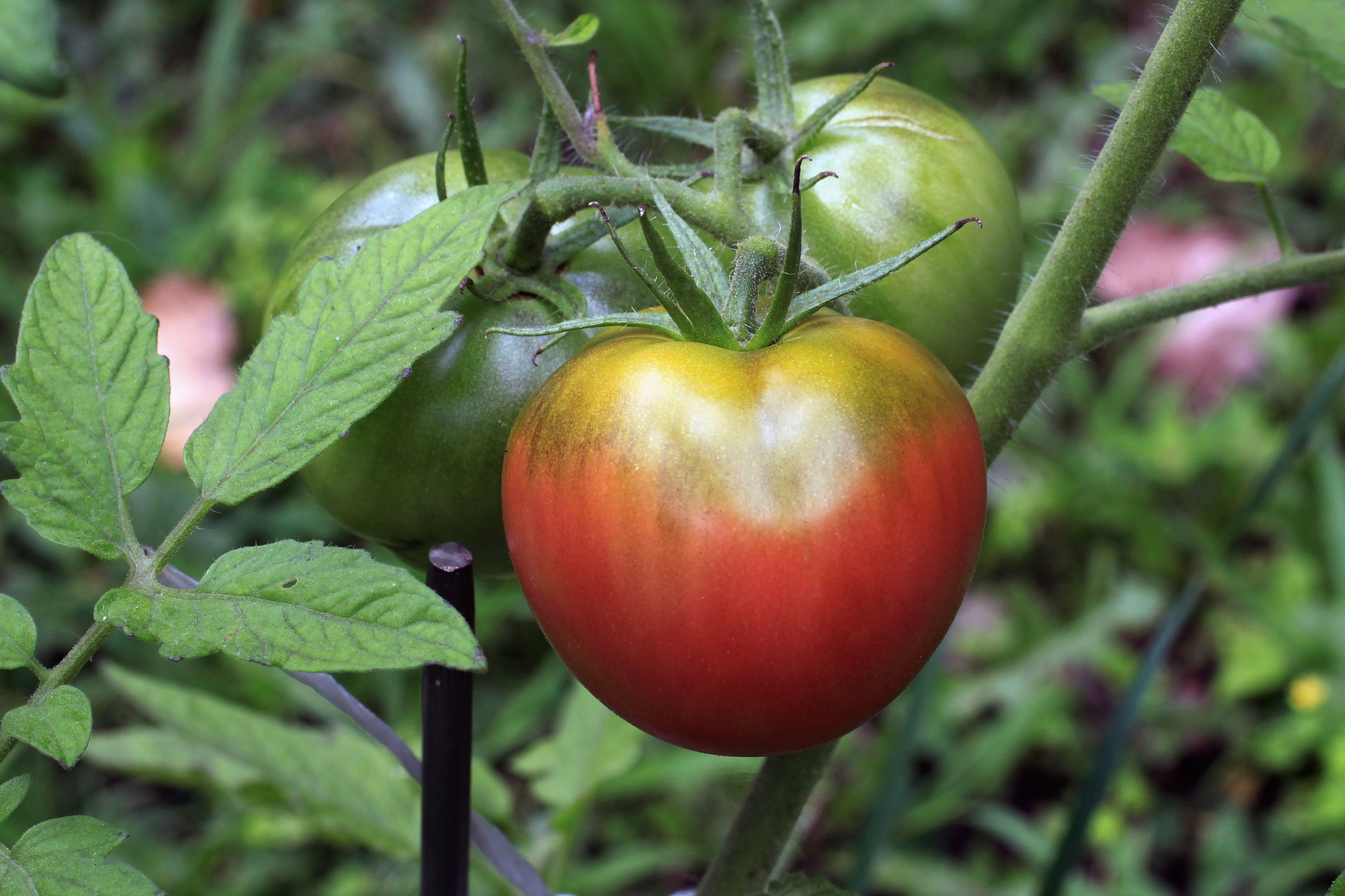 Plant Tomatoes | Here's How To Do It