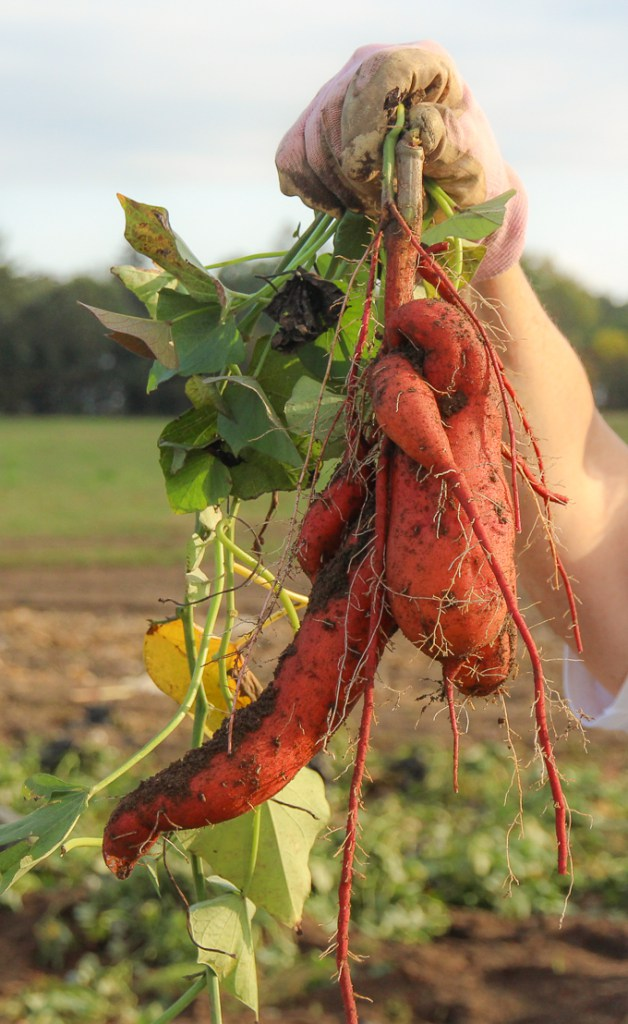 Growing Sweet Potatoes – From Scratch